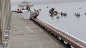 pelicanlast